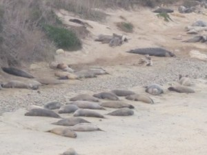 Elephant seals at rest on the cove.