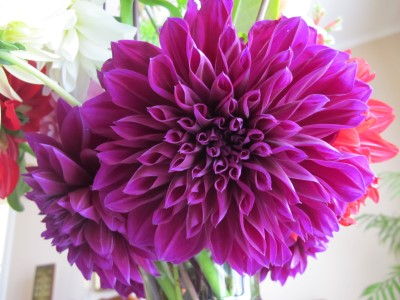 The new deep purple dahlia with its multiple fluted petals.