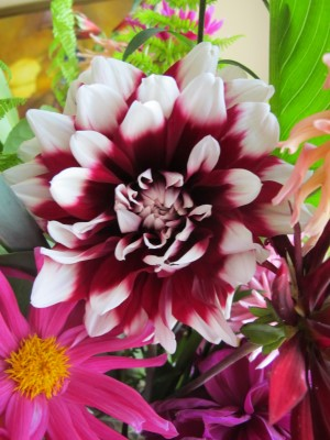 Red-and-white striped dahlia.