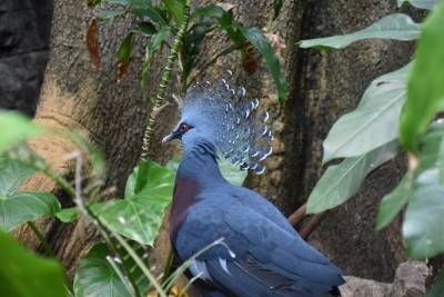 Victoria crowned pigeon (photo by David).