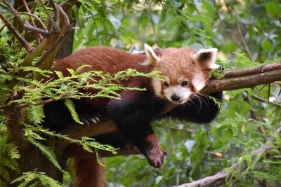 Okay, just one more photo of the red panda (photo by David).
