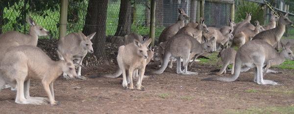 kangaroos 243