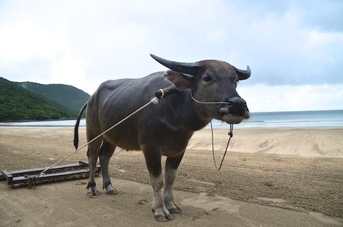 Con Dao buffalo