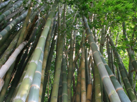 Image result for bamboo growing in panama (country)