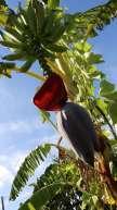Banana at Vale Da Lama