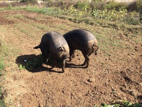 = Happy Pigs