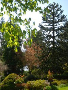 monkey puzzle tree dr neil's garden