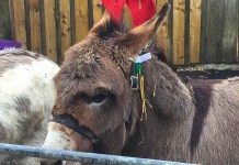 Donkeys at Jupiter Artland Christmas Fair