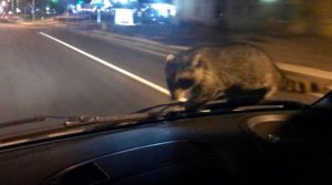 Raccoon on Officer Windshield