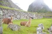 Resident llamas