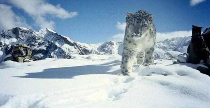 15 Interesting Facts about Snow Leopard in Hindi   हिम तेंदुए के बारे में 15 रोचक तथ्य