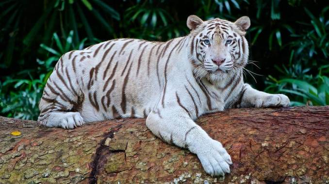 Amazing Facts about Tiger in Hindi - बाघ के बारे में रोचक तथ्य