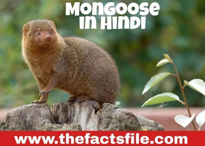 जाने सांप के सबसे बड़े दुश्मन के बारे में रोचक तथ्य - 18 Interesting Facts about Mongoose in Hindi