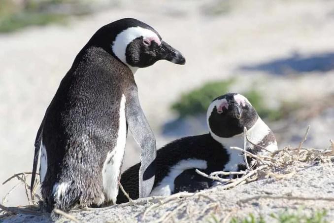 पेंगुइन के बारे में संपूर्ण जानकारी और रोचक तथ्य - Facts and Information about Penguins in Hindi