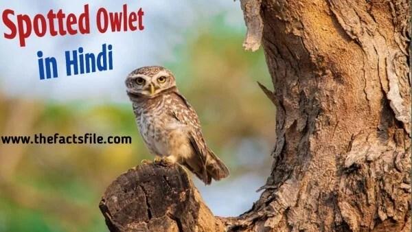 Forest Spotted Owlet in Hindi - जाने भारत के सबसे दुर्लभ पक्षी चित्तीदार उल्लू के बारे में
