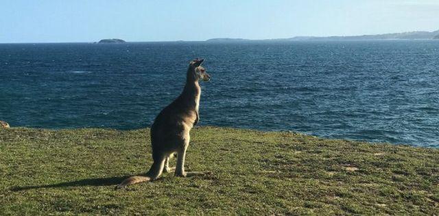 Kangaroo looking out at sea