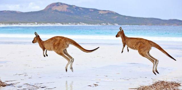 Two Kangaroos Hopping