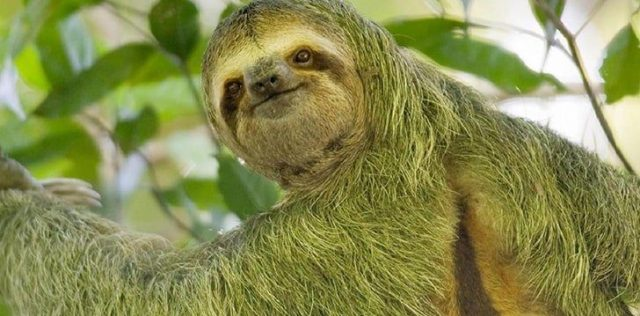 Sloths move so slowly that algae grows on them.