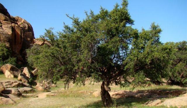 An Argan tree.