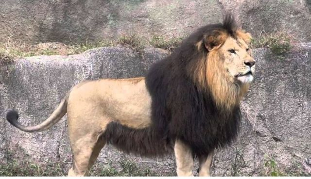 A Barbary lion.