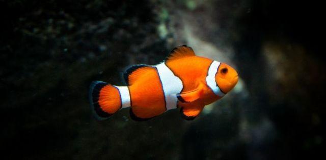 An orange and white striped clown fish
