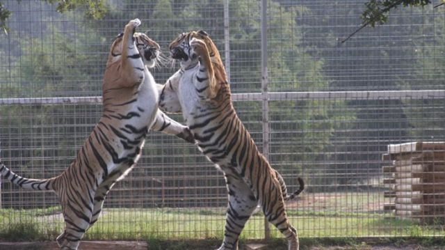Two tigers fighting at the zoo from Tiger King