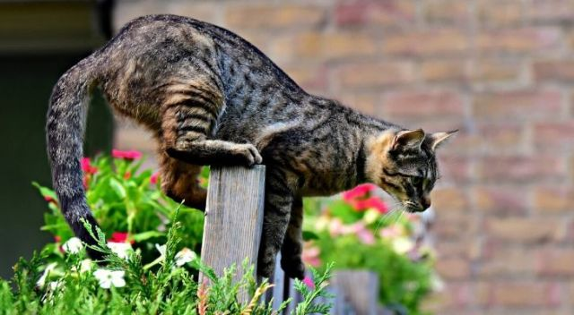 A cat on a fence about to take a leap