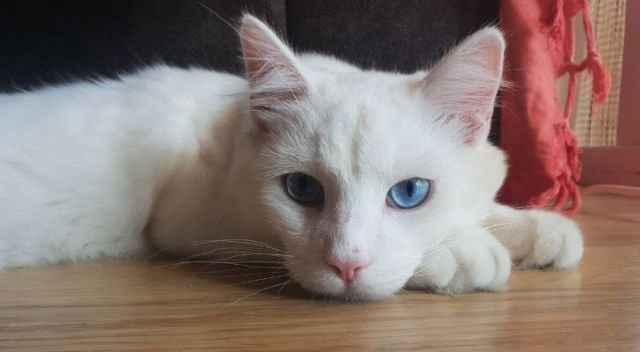A white cat with blue eyes