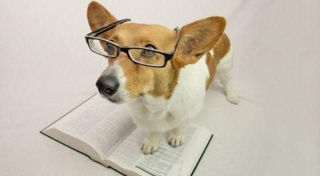 A Corgi wearing glasses to help her read