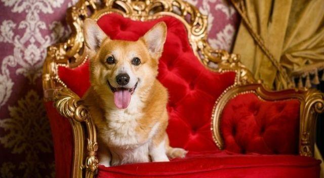 Queen Elizabeth II Corgi sitting on the throne