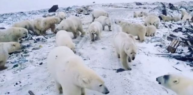 Many polar bears walking around