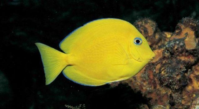 A yellowfins juvenile blue tang fish