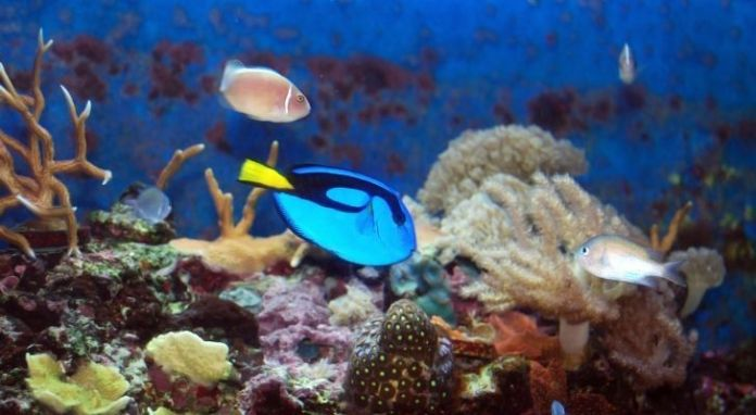 A blue tang swimming around a lively and colorful reef