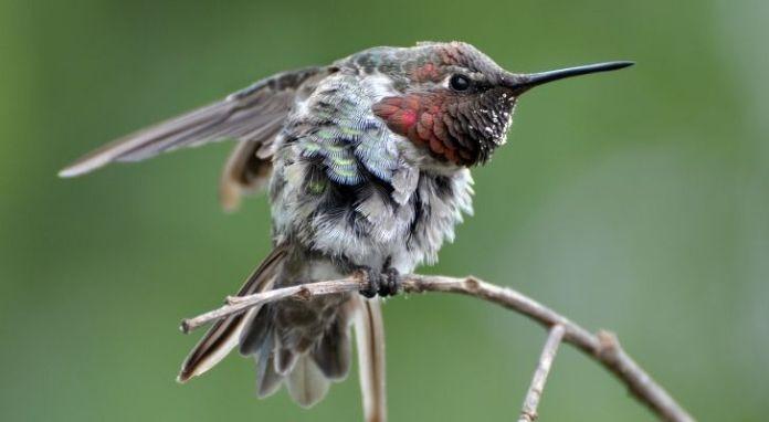 An aggressive looking little hummingbird