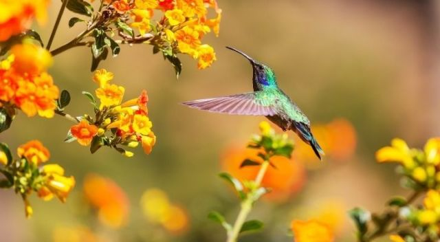A colourful green and purple hummingbird eating from flowers