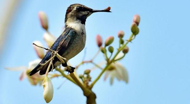 A Mellisuga helenae hummingbird