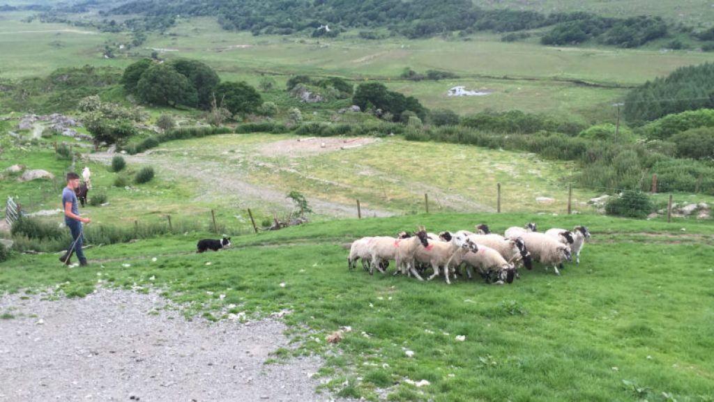 kissane sheep farm sheep dog ireland with kids