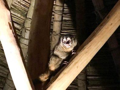 Dinner guests: Panamanian night monkeys