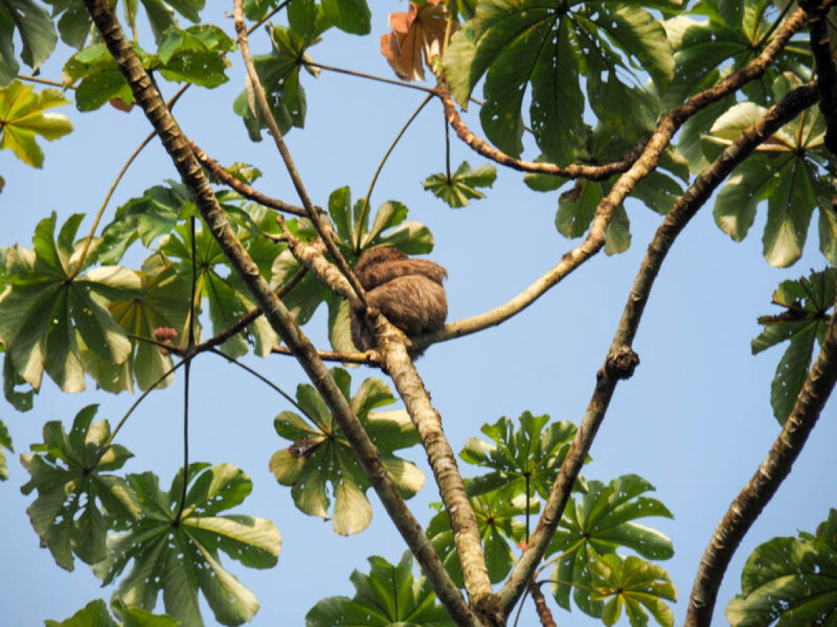 Sleepy sloths on the Gamboa Rainforest Tour
