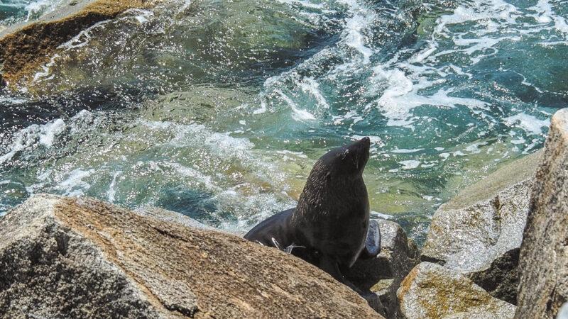 Montague Island fur seals