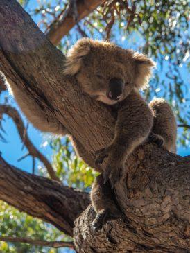 cute koala pictures