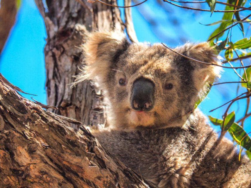 koala nestled in a tree on Raymond Island, Gippsland, Victoria Australia; where to see koalas in australia