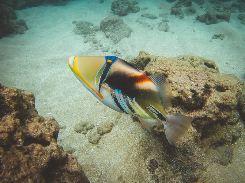 Check out this humuhumunukunukuapua'a we spotted when snorkeling in Hanauma Bay on Oahu! Great capture by the Akaso 4k action camera. #snorkeling #Hawaii #photography