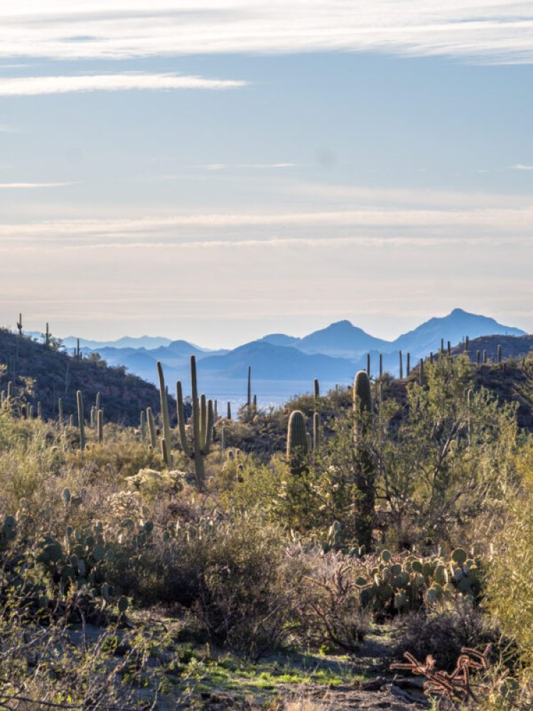 Valley full of saguaro cactus with blue mountains in background at Saguaro National Park, Tucson AZ