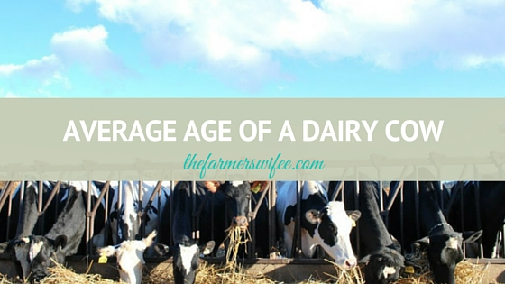 Average Age of a Dairy Cow