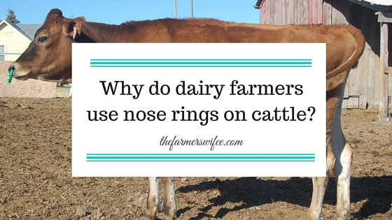 Why do dairy farmers use nose rings on cattle?