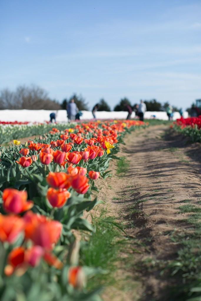 Texas-Tulips-3992