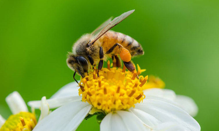Bees living in cities often have to seek out green space like parks, ravines and gardens. Green roofs could offer them some habitat.