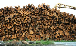 Our hardwood plantations are shrinking and we're still sending most offshore for woodchipping
