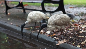birds drinking from puddle